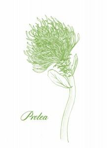 protea-closeup-by-ambigraph